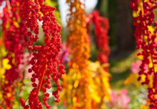 27457134 - the colorful chenopodium quinoa tree in the farm
